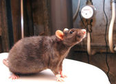 Rat and counters of the water expense — Stock Photo