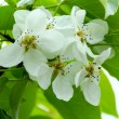 Stock Photo: White flowers of apple tree and green leaves