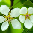 White flowers of an apple tree and green leaves — Stock Photo