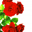 Scarlet rose — Stock Photo