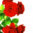 Scarlet rose — Stock Photo #9926448