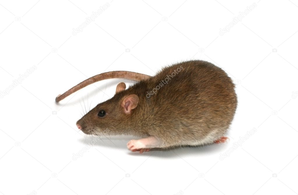 Grey rat  Stock Photo #9931001