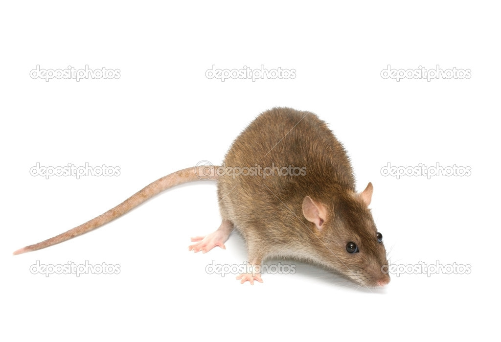 Grey rat — Stock Photo #9931003