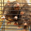 Stock Photo: Gray rats