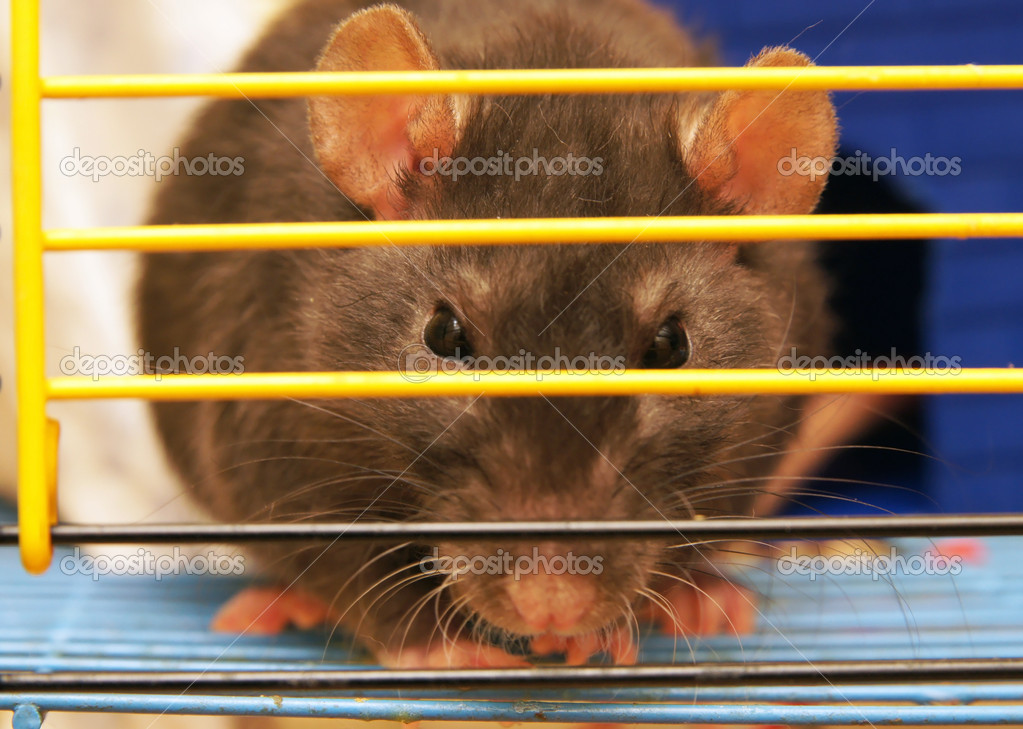 Gray rat in a cage close up — Stok fotoğraf #9948032