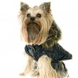 Yorkshire Terrier — Stock Photo #9951224