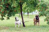 Two dogs under a tree — Stock Photo