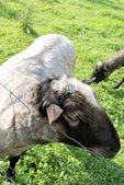 Romanov sheep — Stock Photo