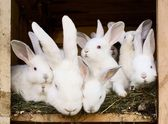 Little bunnies with their mum in a hutch — Stock Photo