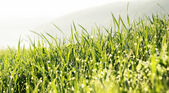 Grass with water drops. — Stock Photo