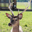 Stock Photo: deer head