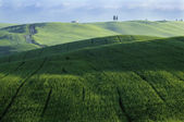 Green fields of wheat — Stock Photo