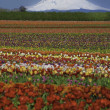 Tulip fields, snow-covered mountain — Stock Photo