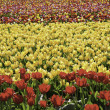 Stock Photo: Tulip fields
