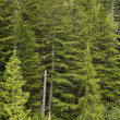 Douglas fir forest green conifers trees — Stock Photo