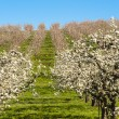 Apple orchards in spring — Stock Photo