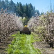 Farmer spraying pesticide on apple trees — Stock Photo