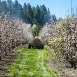 Farmer spraying pesticide on apple trees — Stock Photo