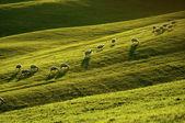 Sheep in Tuscany — Stock Photo