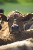 Bir sığır — Stok fotoğraf