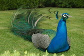 Peacock Sitting on Grass — Stock Photo