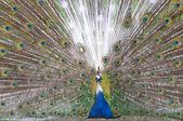 Peacock Full Show — Stock Photo