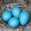 Four Robin Eggs in Nest - Stockfoto