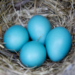 Four Robin Eggs in Nest - Foto Stock