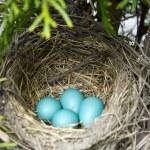 Four Robin Eggs in Nest — Stock Photo