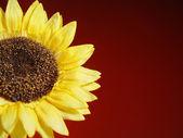 Large Sunflower on Burgundy Background — Stock Photo