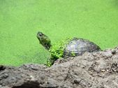 Turtle in Green Pond — Stock Photo
