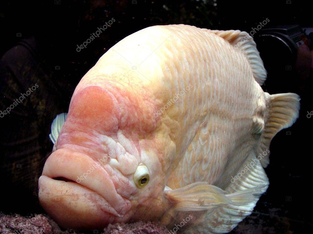 Peixe albino com l bios grandes fotografias de stock for Big fish script