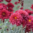 Maroon dahlia flowers — Stock Photo