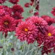 Maroon dahliflowers — Stock Photo #9838959
