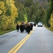 Buffalo In Road - Stock Photo