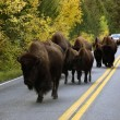 Buffalo In Road - Photo
