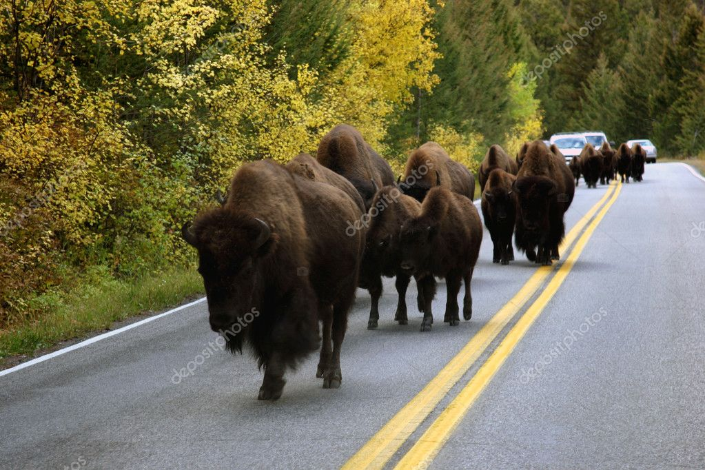 Buffalo In The Road In Yellowstone  Stock Photo #10003779