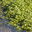 Watercress Growing In Bed — Stock Photo #10015649