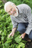 Organic Farmer Inspecting Beetroot Crop — Stock Photo