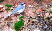 Blue bird among the rocks — Stock Photo