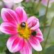 Bumblebees and flower — Stock Photo