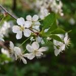 White spring flowers — Stock Photo #10011138