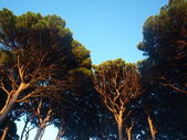 Pine-trees in Spain — Foto Stock