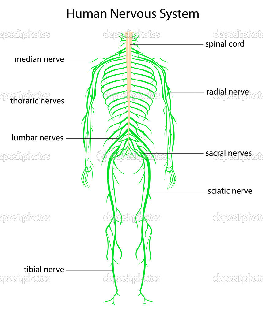 Illustration of human nervous system with labels — Stock Vector #10457025