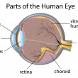 Human eye - Stockvectorbeeld