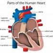 Parts of the heart - Stock Vector