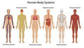 Sistemas del cuerpo humano — Vector de stock