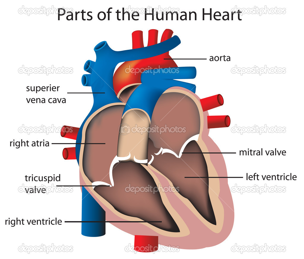 Illustration of parts of the heart — Stock Vector #10481805