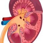 Постер, плакат: Kidney