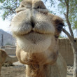 Camel face — Stock Photo #10072618